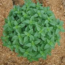 basilic-plante